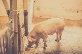 alimento-brillante-cerdo-comida-retrato_csp39160078.jpg
